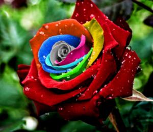 rose-rainbow-300x259